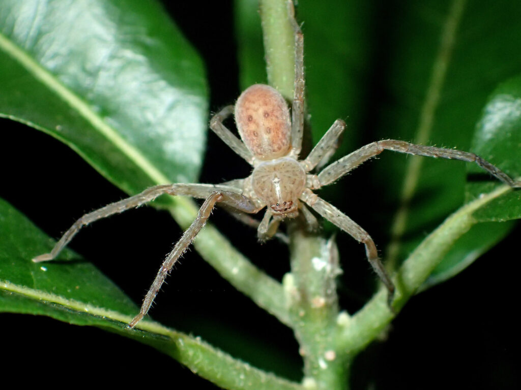 Spinnengattungen Thunberga