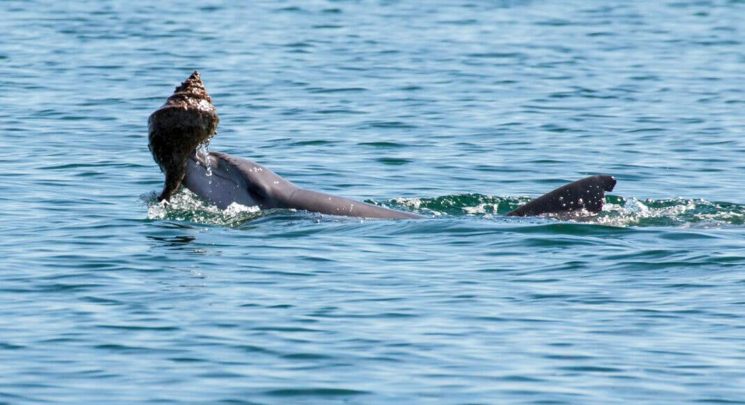 Delfin mit dem Gehaeuse einer Riesenschnecke