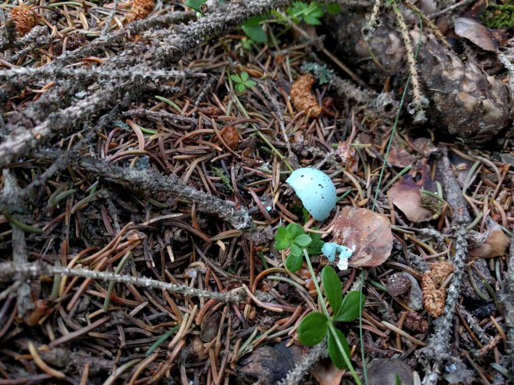 Zerbrochenes Vogelei auf Waldboden