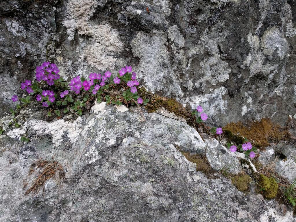 Rosarote Blumen in Felsritze