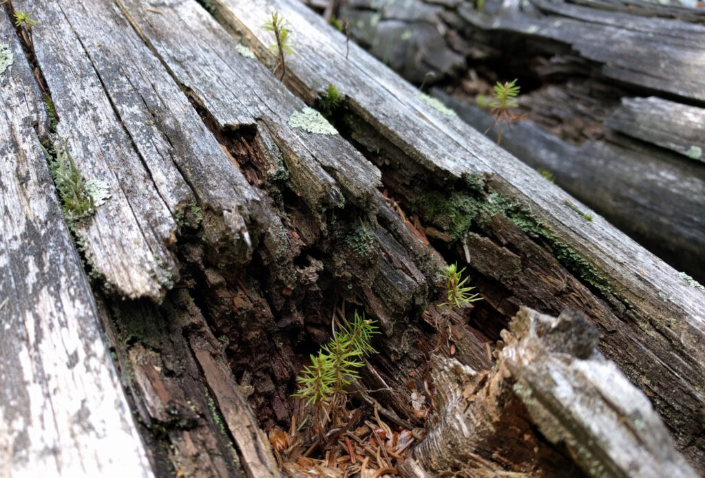 Fichten auf Totholz
