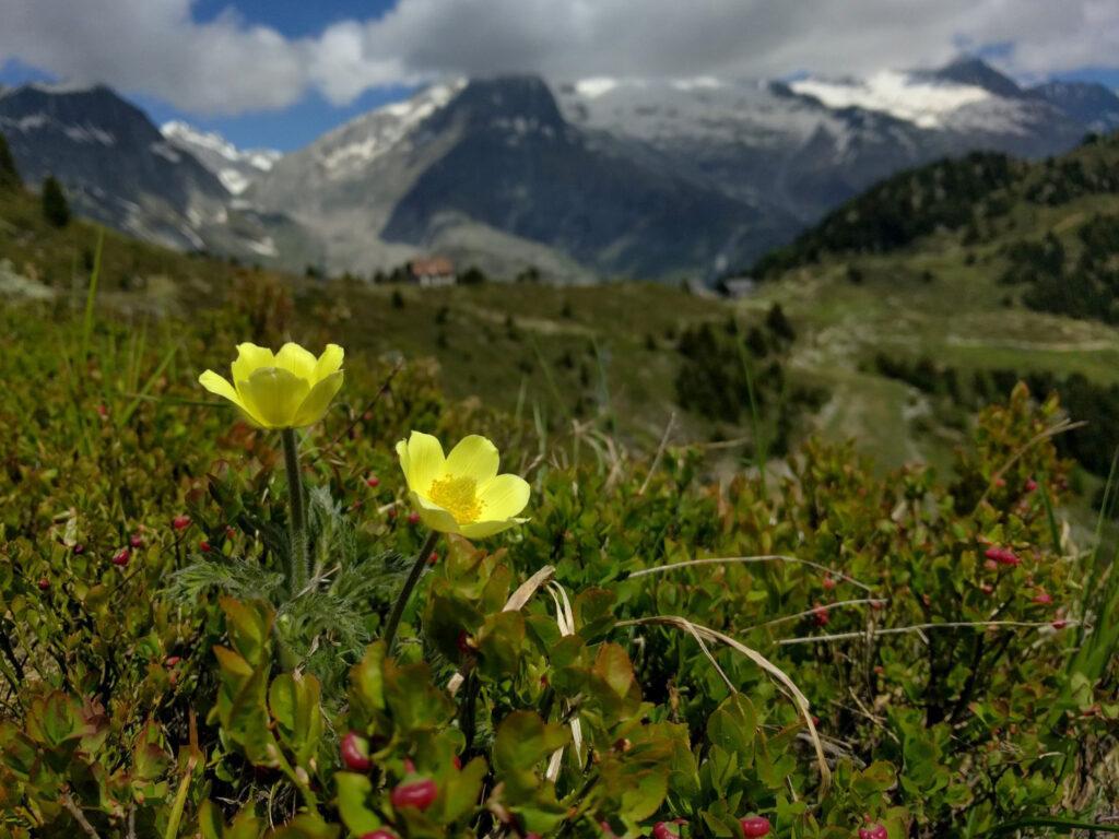 Bergpanorama mit Blumen im Vordergrund