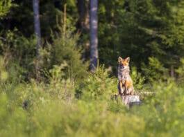 Rotfuchs im Wald
