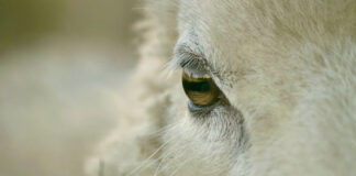 Nahaufnahme eines Schafgesichts