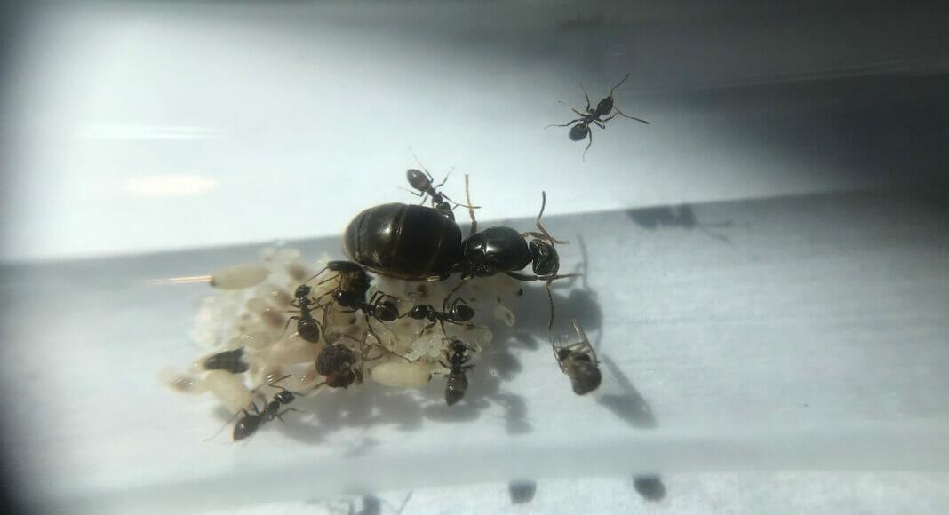 Junge Kolonie der Schwarzen Gartenameise in einem Neströhrchen