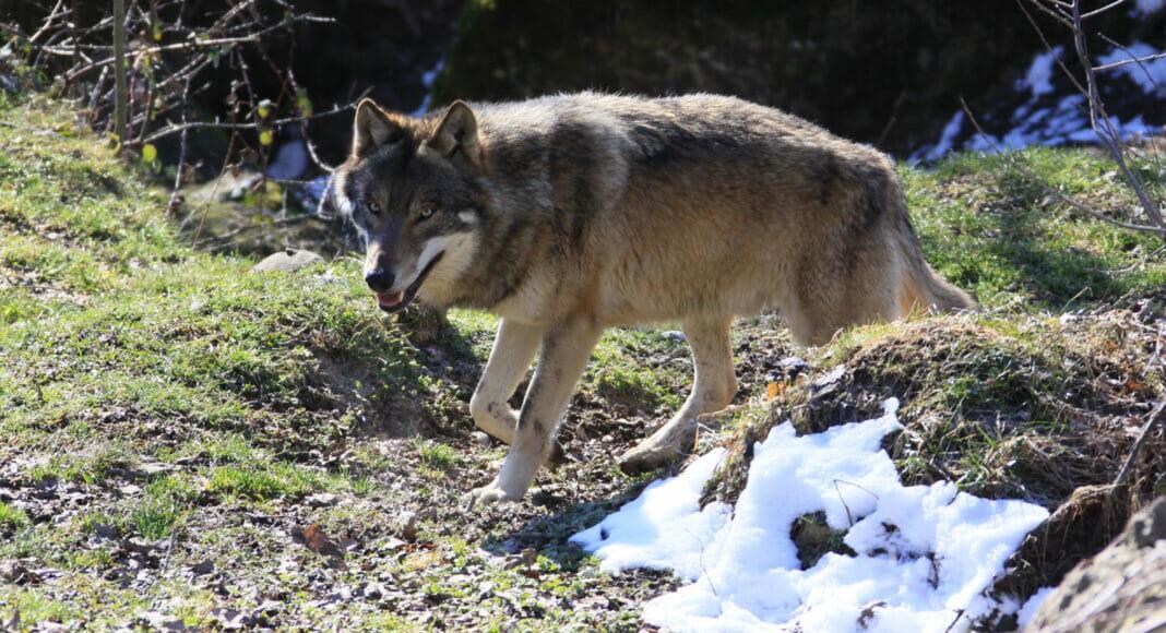 Europaeischer Grauwolf