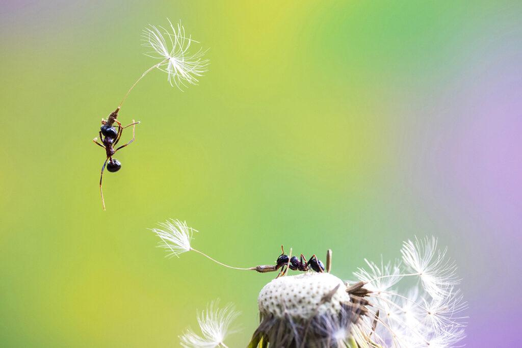 Ameisen auf verbluehtem Loewenzahn