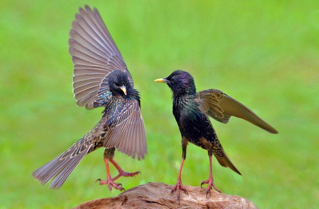 Zwei Stare streiten um Futter