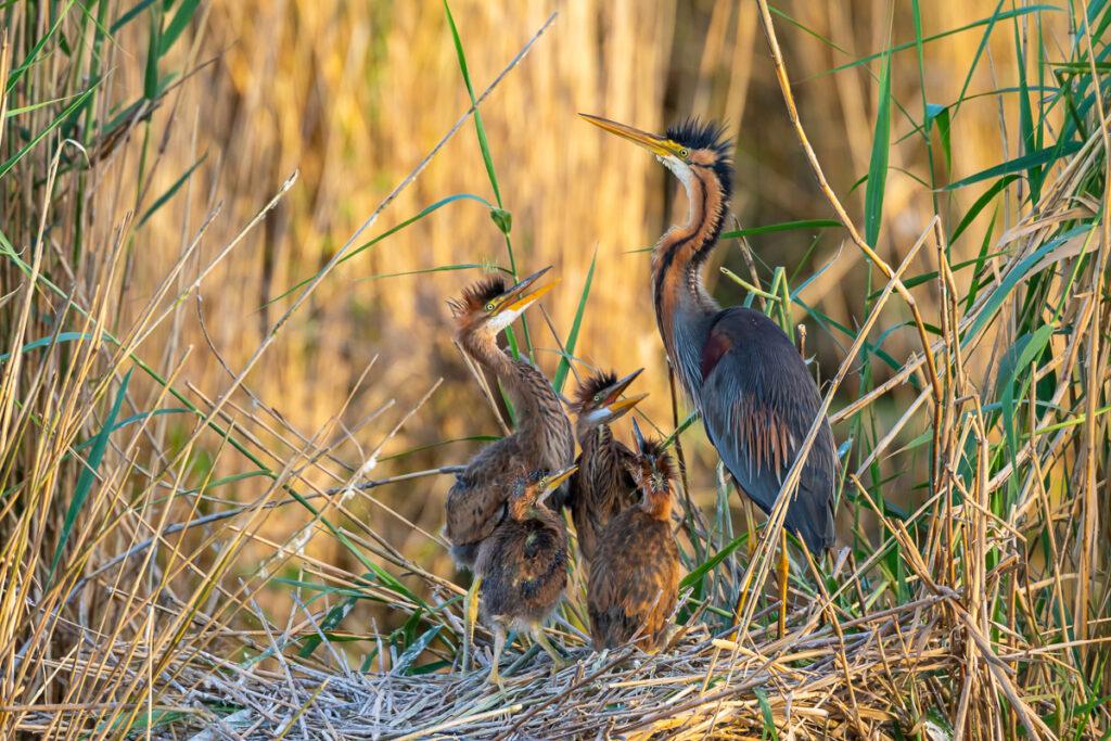Purpurreiher mit Nachwuchs im Nest