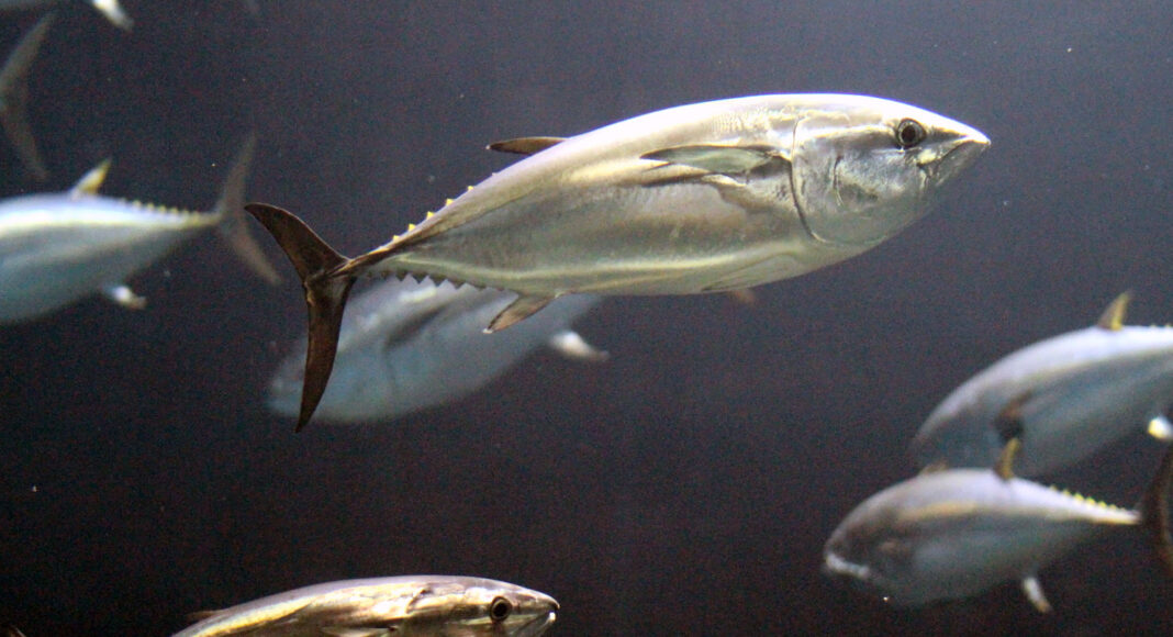 Blauflossen-Thunfische im Wasser