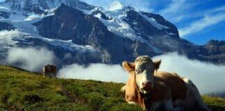Kuehe auf Weide