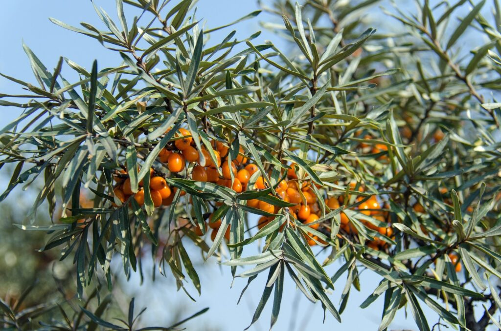 Reife Sanddornfruechte an Zweig