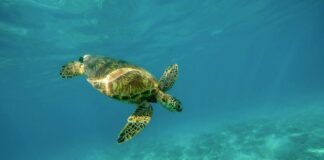 Schildkroete im Wasser