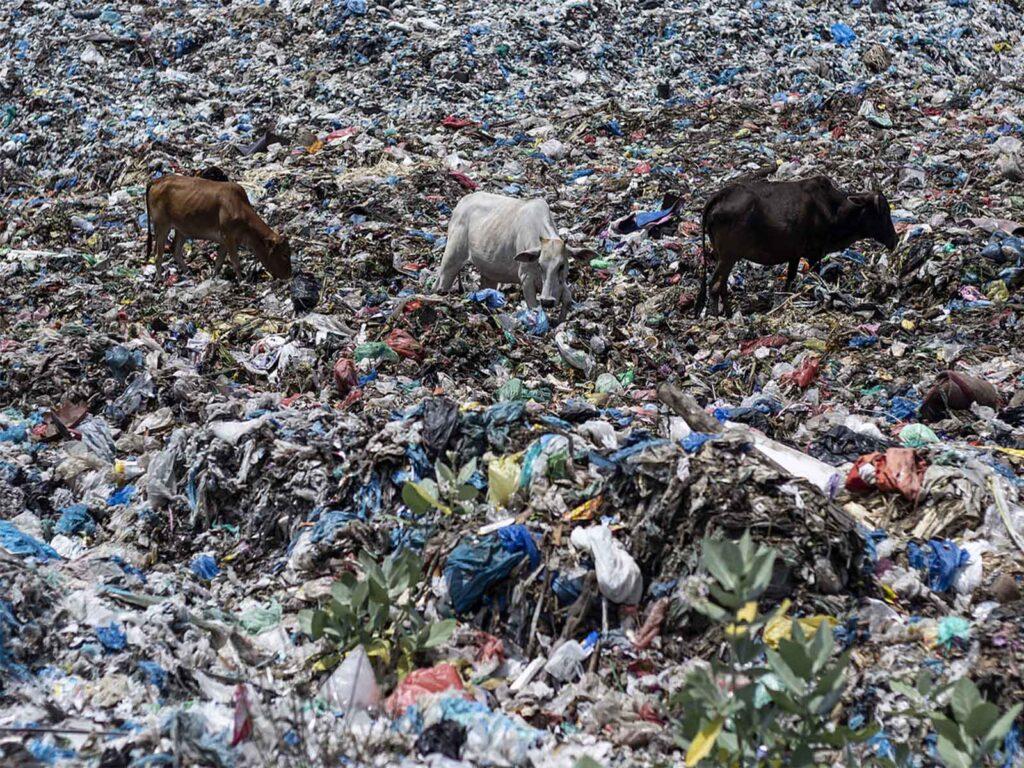 Drei Kühe suchen Nahrung auf Plastik-Abfallberg