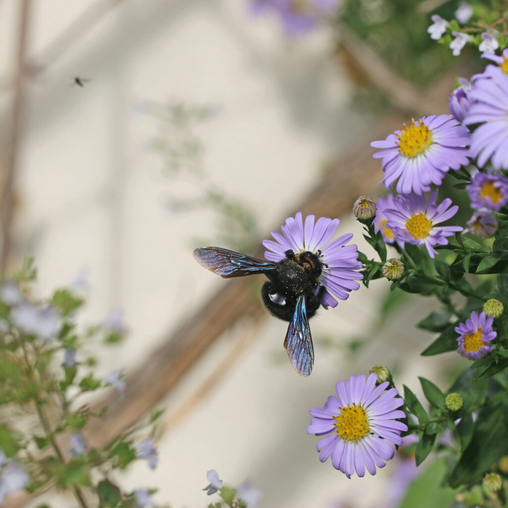 Blaue Holzbiene auf Aster