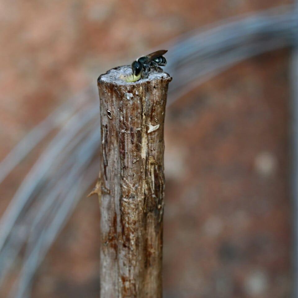 Schwarzspornige Stengel-Mauerbiene