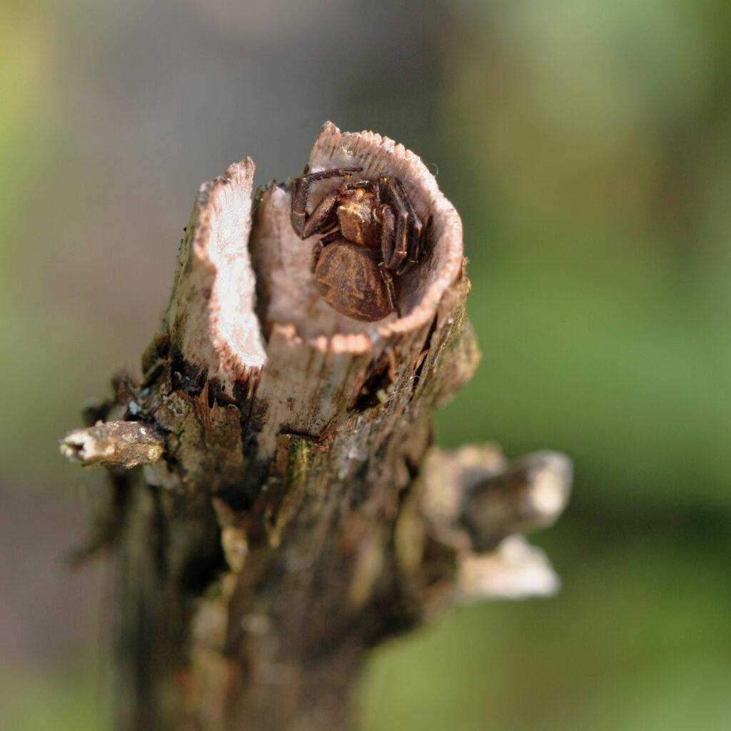 Krabbenspinne in Pflanzenstengel