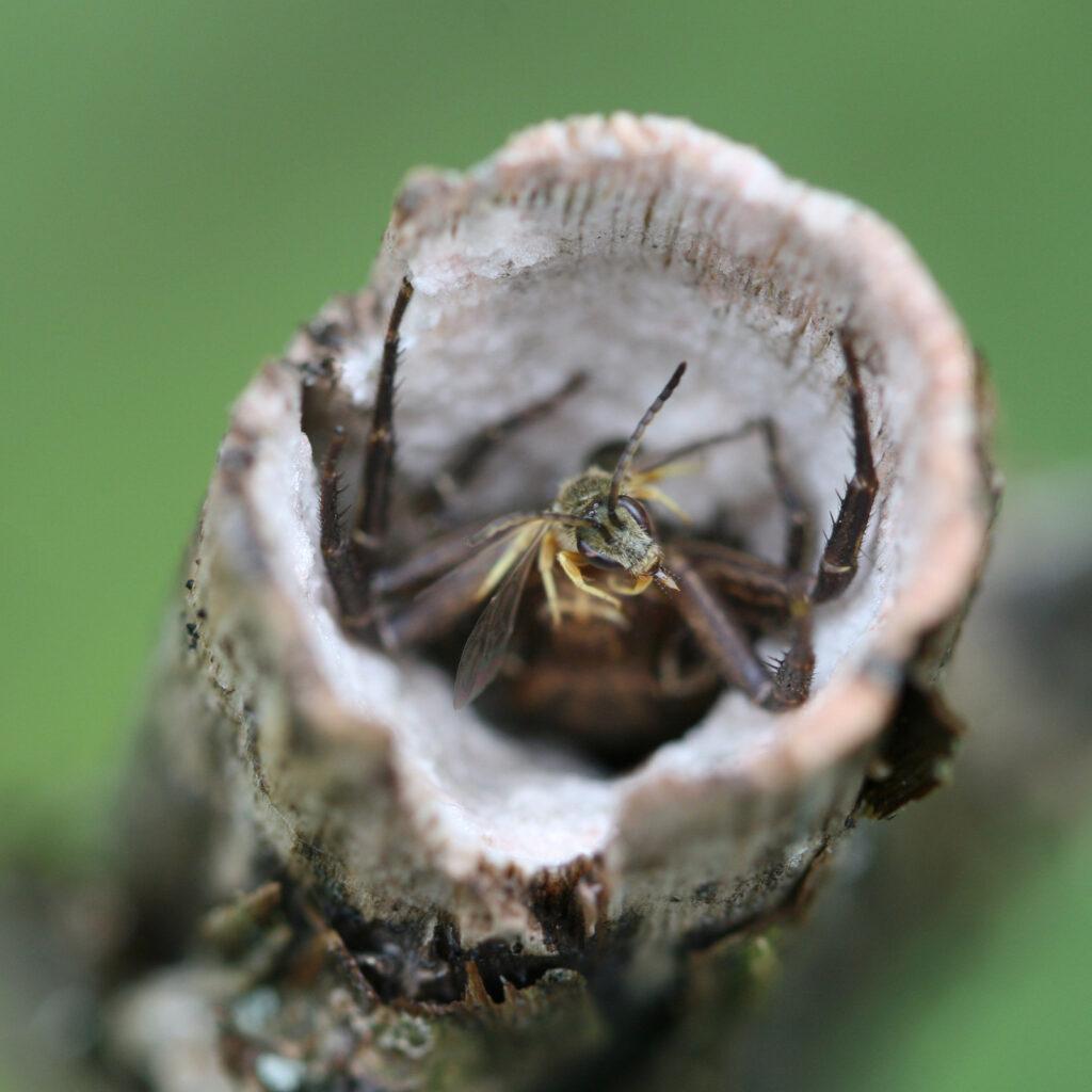 Krabbenspinne mit Wildbiene