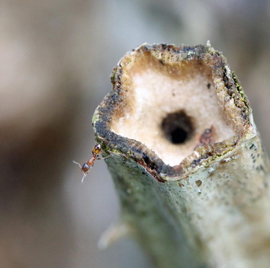 Ameise auf altem Stengel