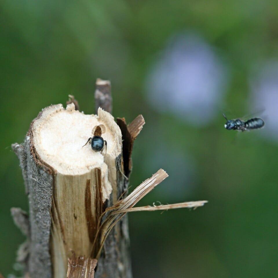 Gewähnliche Keulhornbiene