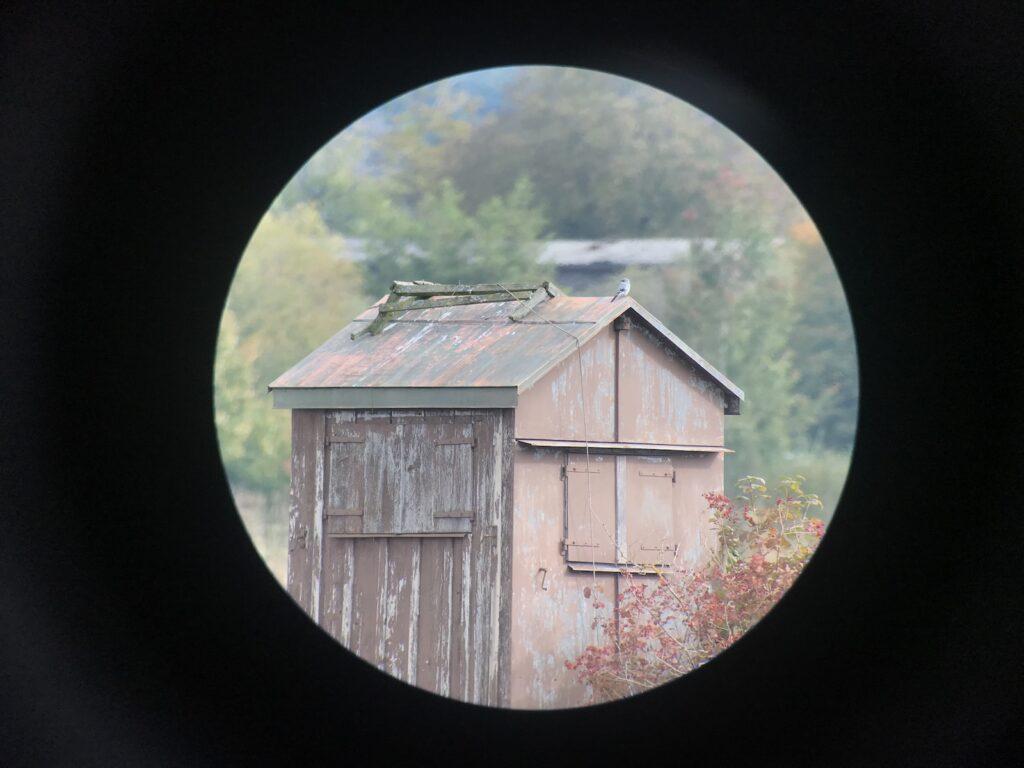 Raubwürger auf Dachfirst