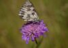 Schachbrettfalter auf Blume