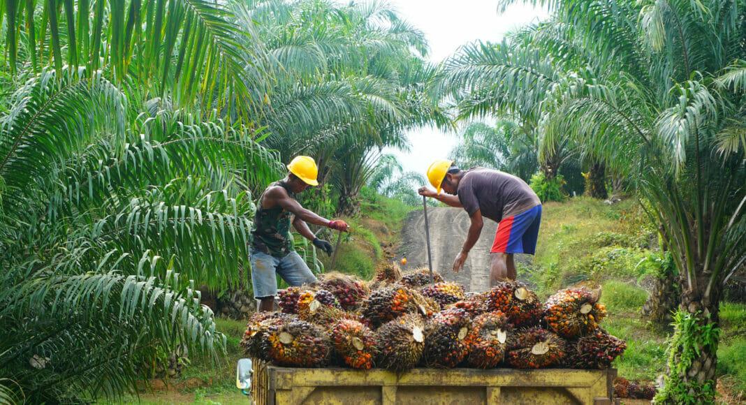 Palmöl Ernte in Indonesien