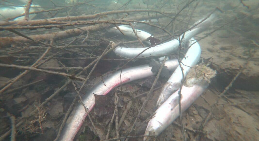 Tote Aale im Rhein bei Rüdlingen