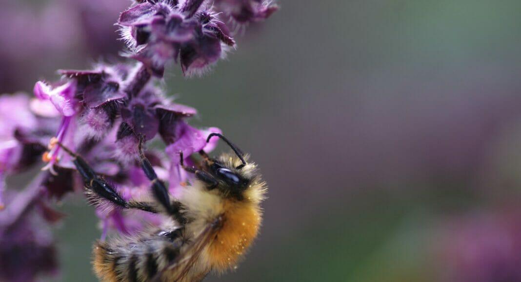 Eine Biene saugt an einer lokalen Blüte