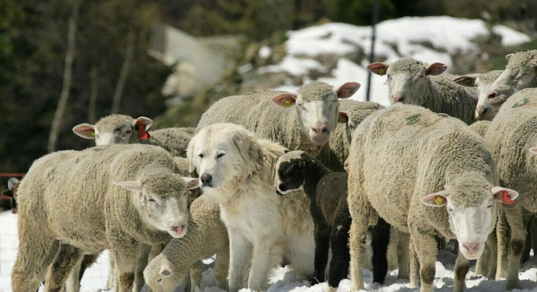 Herdenschutzhund zwischen Schafen