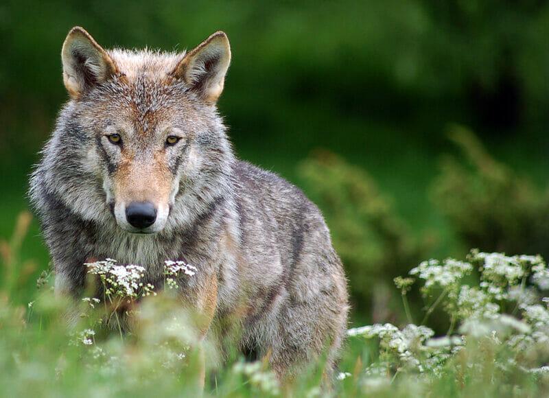 Friedlicher Wolf