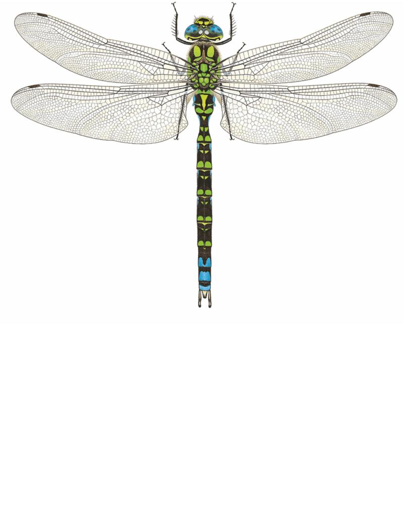 Zeichnung einer Blaugrünen Mosaikjungfer