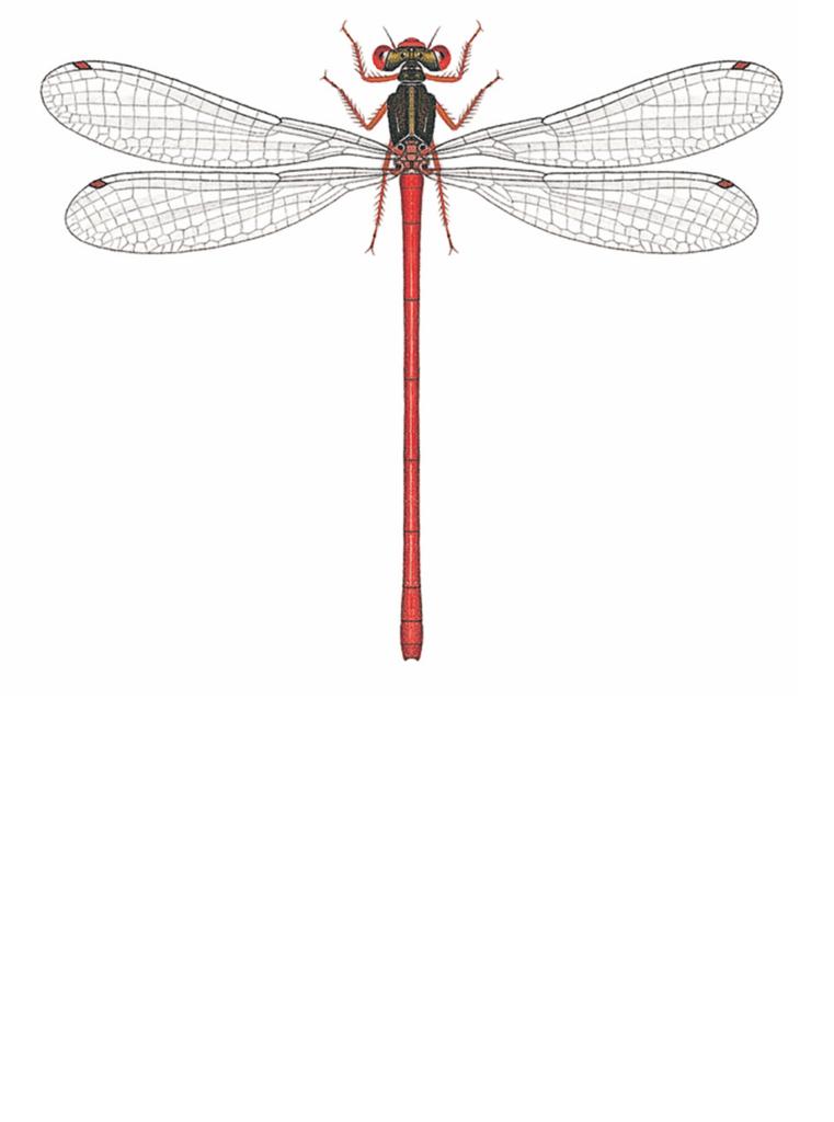 Zeichnung einer Scharlachlibelle