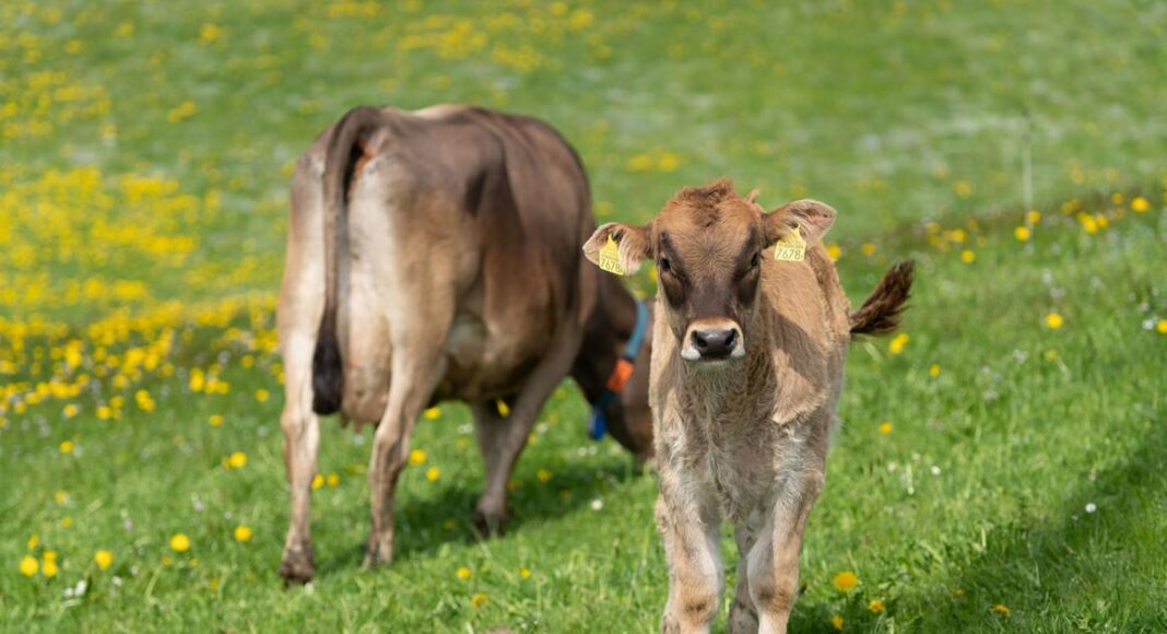 Kalb mit Mutterkuh auf der Weide