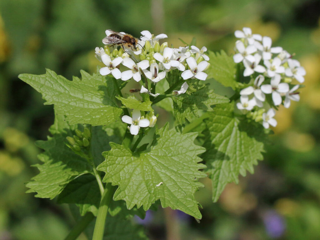 Osmia brevicornis m auf Knoblauchhederich