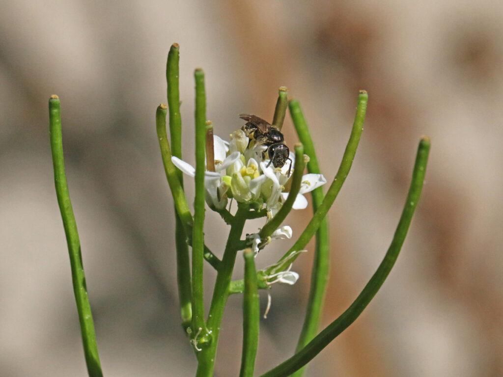 Wildbiene auf Knoblauchhederich