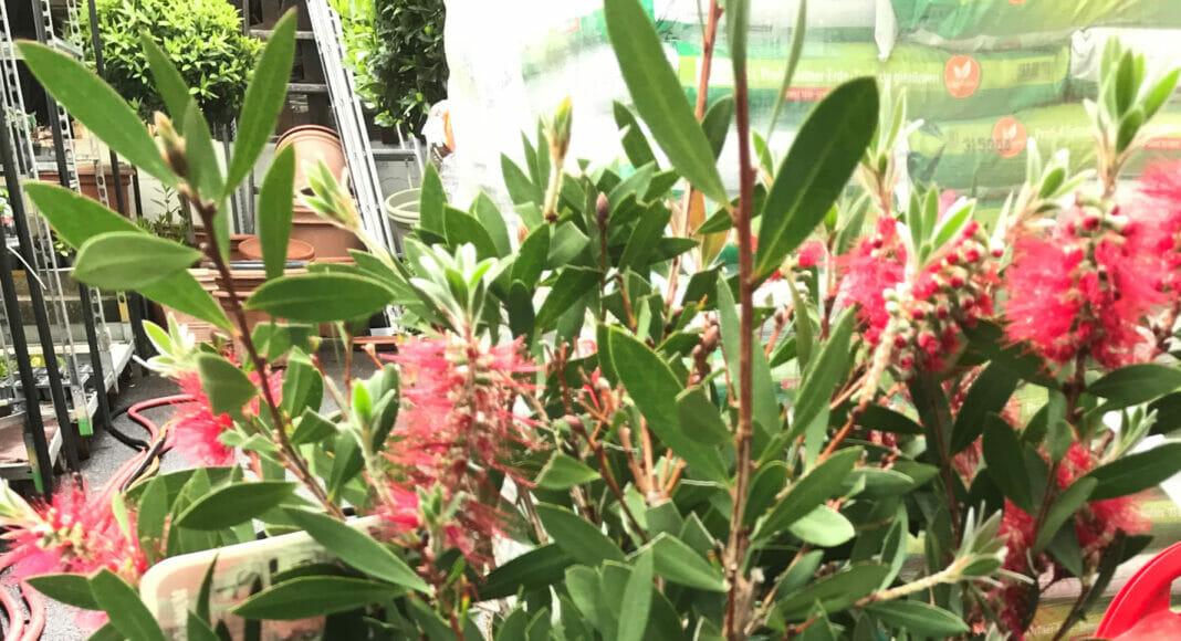 Callistemon-Pflanze