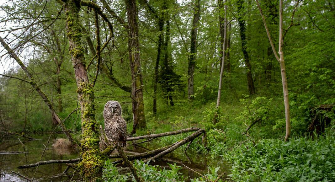 Waldkautz im Biberwald bei Marthalen