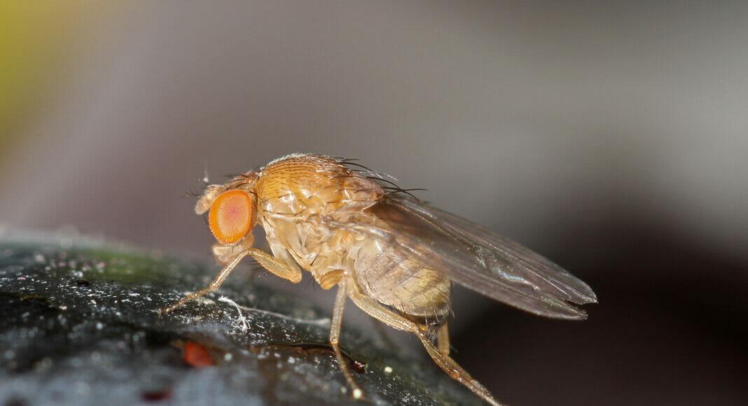 Weibchen der Kirschessigfliege