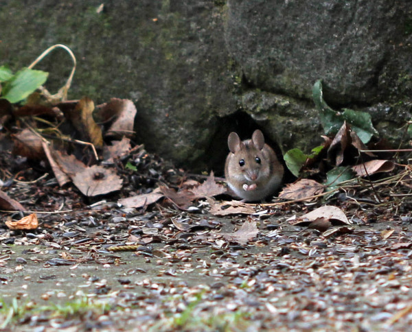 Eine Waldmaus sitzt vor ihrem Versteck.