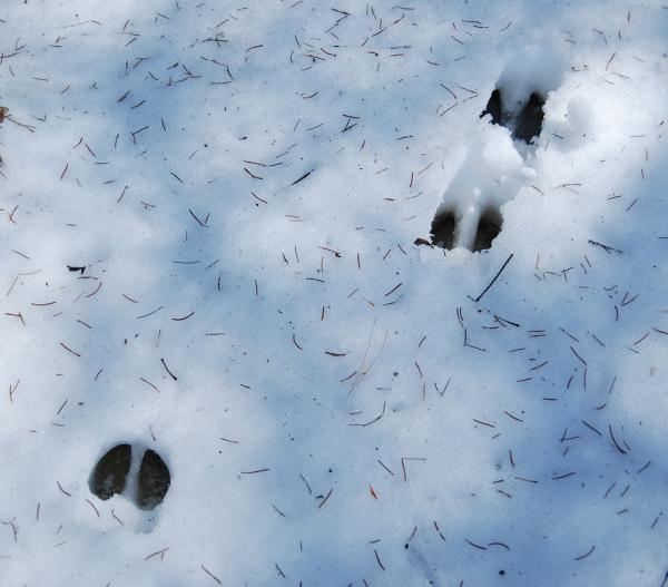 Tierspuren im Schnee dem richtigen Tier zuzuortnen ist nicht immer einfach. © florathexplora [CC-BY-SA-3.0], via flickr