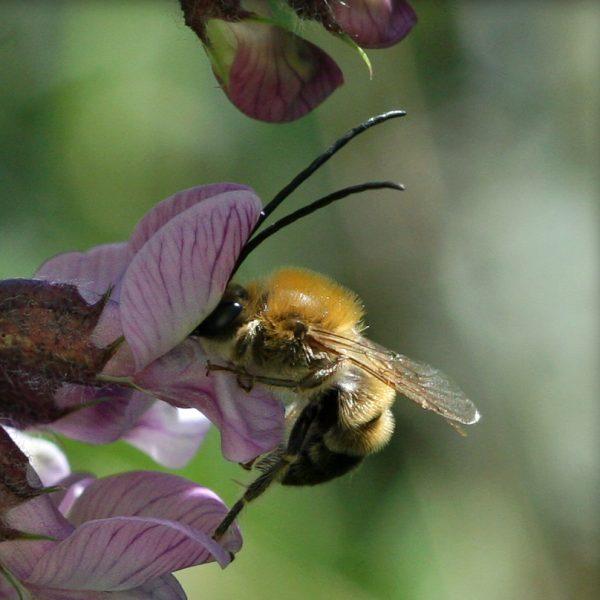 Mai-Langhornbiene Eucera nigrescens © Christine Dobler Gross (zum Vergrössern bitte anklicken)