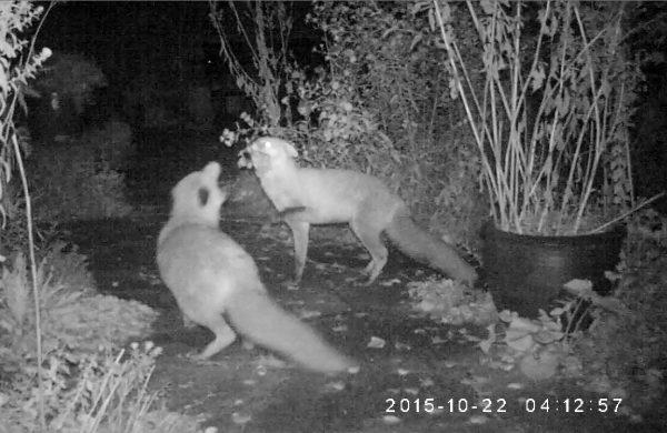 Es treffen sich zwei Fuchse im nächtlichen Garten.