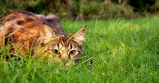 Katze, Anschleichen, Jagd