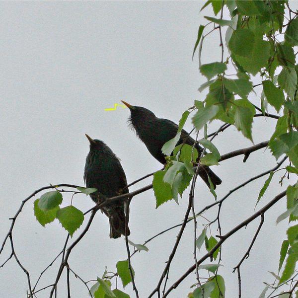 Zwei Stare sitzen in einer Birke.