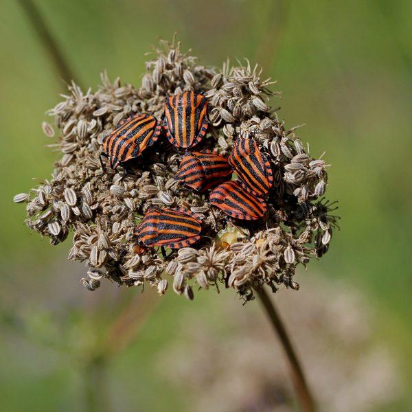 Streifenwanzen tummeln sich auf einer Blüte.