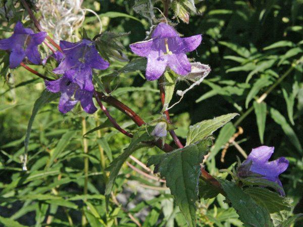 Die Blüten der mehrjährige nesselblättrige Glockenblume bieten Pollen für Insekten.