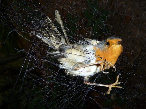 In den Verwirrungen des Netzes gab es für dieses Rotkehlchen kein Entkommen mehr. © Alexander Heyd, CABS