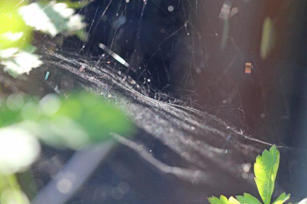 Die Spinne hat ein Baldachin Netz gesponnen.