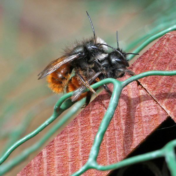 Mauerbiene bei der Paarung.